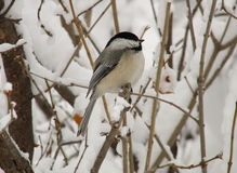 Chickadee in de Winter Royalty-vrije Stock Foto