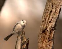 Chickadee dell'albino Fotografie Stock