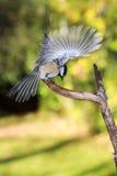 Chickadee in der Bewegung Stockfotografie