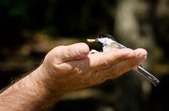 Chickadee, der Erdnuss von einer Hand isst Stockfotografie