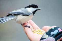 Chickadee in der Hand Stockfotos