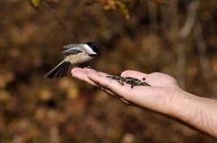 Chickadee, der von einer Hand isst Stockfotos