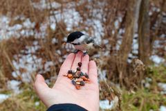 Chickadee, der von der Hand isst Stockfotos