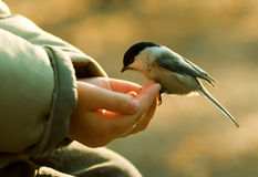 Chickadee, der zum Arm des Kindes landet lizenzfreie stockfotografie