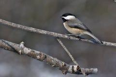 Chickadee di Blackcapped fotografia stock libera da diritti