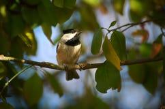 Chickadee di Carolina nel raggio di sole Fotografie Stock Libere da Diritti