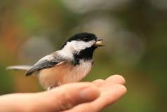 Chickadee a disposizione con il seme Immagini Stock
