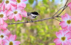 Chickadee at Dogwood Blossoms Royalty Free Stock Image