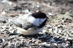 Chickadee Eating. This is a Chickadee eating bird seed on the ground Stock Photos