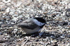 Chickadee Eating. This is a Chickadee eating bird seed on the ground Stock Photo
