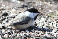 Chickadee. This is a Chickadee eating bird seed on the ground Stock Photos