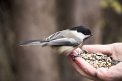 Chickadee eating bird seed from a human hand. Close up of a chickadee eating bird see from a human hand Royalty Free Stock Image