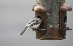 Chickadee eating from an outdoor bird feeder with its head inside feeder Royalty Free Stock Images