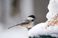 Chickadee eating a seed. Chickadee in the winter eating a seed Royalty Free Stock Image