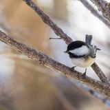 Chickadee eating a seed. Small chickadee with a seed in its beak, perched on the branch of a tree, with a blurred background royalty free stock photography