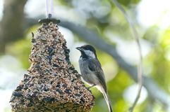Chickadee en alimentador del pájaro Foto de archivo libre de regalías