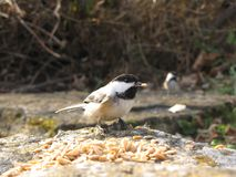 Chickadee en Canadá Imagen de archivo