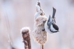 Chickadee en cattails royalty-vrije stock afbeelding