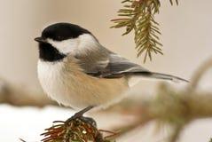 Chickadee en nieve Imágenes de archivo libres de regalías