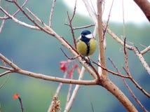 Chickadee en un árbol de las ramas Fotos de archivo libres de regalías