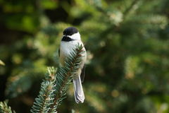 Chickadee on evergreen branch. Stock Photos