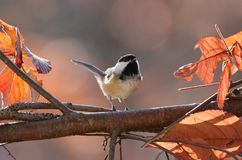 Chickadee during fall stock images