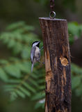 Chickadee on a feeder Royalty Free Stock Image