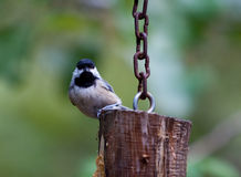 Chickadee on a feeder Royalty Free Stock Images