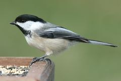 Chickadee On A Feeder Royalty Free Stock Photo