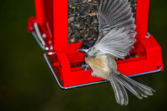 Chickadee on Feeder in Motion Royalty Free Stock Image