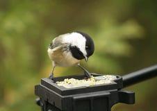 Chickadee feeding. Chickadee perched and feeding on tripod. Biological Family: Paridae stock photography