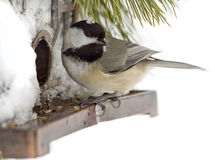 Chickadee Feeding after Snow Storm Stock Photography