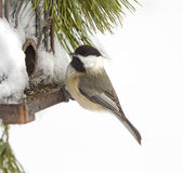 Chickadee Feeding after Snow Storm Royalty Free Stock Image