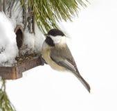 Chickadee Feeding after Snow Storm Royalty Free Stock Image