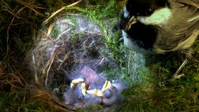 Chickadee feeds baby with big food stock video