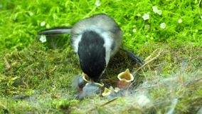 Chickadee feeds baby with mouth full of worms. This is a footage of a chickadee feeds baby with mouth full of worms stock footage