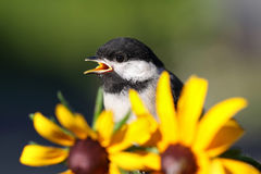 Chickadee and flower Royalty Free Stock Photography
