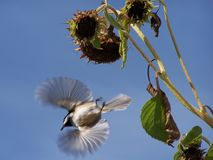 Chickadee flying Royalty Free Stock Images