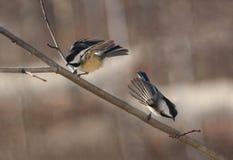 Chickadee flying royalty free stock photo