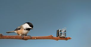 Chickadee found a christmas gift. Royalty Free Stock Images