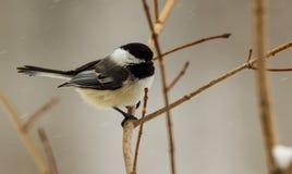 Chickadee frio Fotografia de Stock Royalty Free