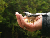 Chickadee Gets a Seed. A chickadee takes a seed from a man's hand stock images