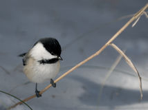 Chickadee on Grass with Space for Text. Chickadee perched on a blade of dry grass with snow in background. There is space for text on the right royalty free stock photo