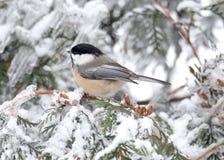 Chickadee i vinter Fotografering för Bildbyråer