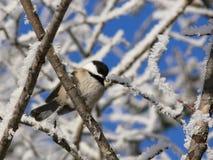 Chickadee i vinter Arkivbilder