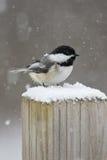 Chickadee im Schnee Lizenzfreie Stockfotos