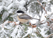 Chickadee im Winter Stockbild