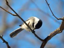 Chickadee im Winter Lizenzfreies Stockfoto