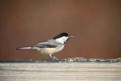 Chickadee Royalty Free Stock Images