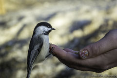 Chickadee. These little birds are so tame Royalty Free Stock Photo